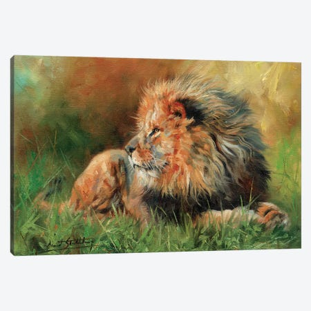 Lion Full Canvas Print #STG66} by David Stribbling Canvas Art Print