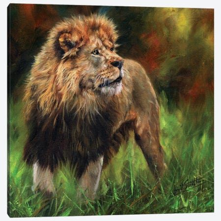 Lion Full Length Canvas Print #STG67} by David Stribbling Canvas Art Print