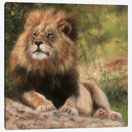 Lion Laying Down Canvas Print #STG68} by David Stribbling Canvas Wall Art