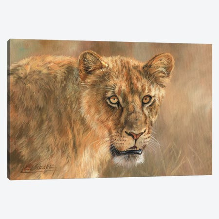 Lioness Canvas Print #STG70} by David Stribbling Art Print