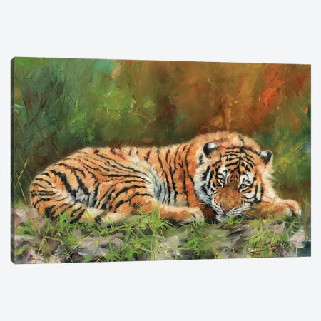 Amur Tiger Repose Canvas Print #STG7} by David Stribbling Canvas Wall Art