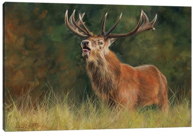Red Deer Stag by David Stribbling Canvas Art Print