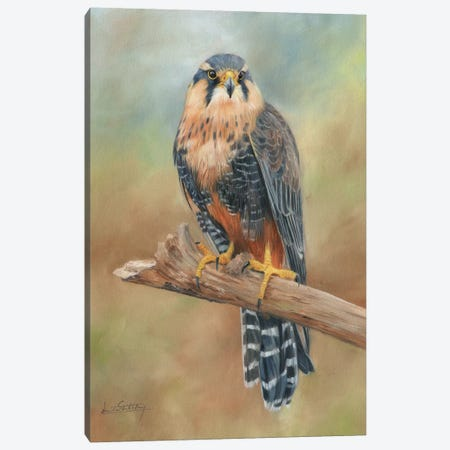 Aplomado Falcon Canvas Print #STG8} by David Stribbling Art Print