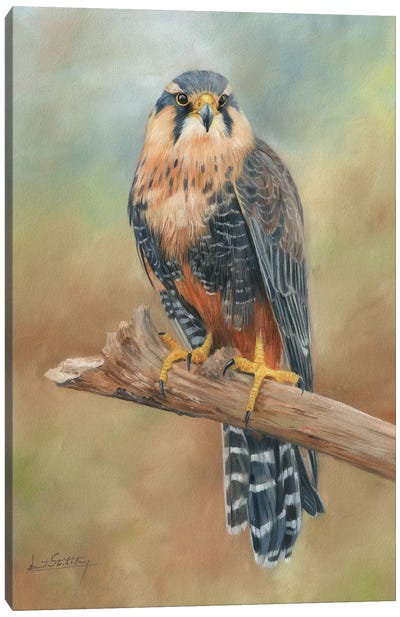 Aplomado Falcon by David Stribbling Canvas Art Print