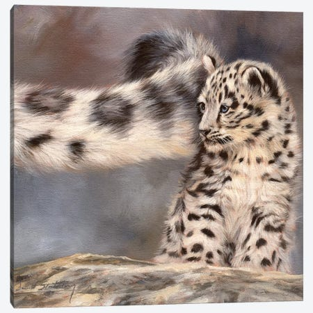Side Swipe Snow Leopard Cub Canvas Print #STG93} by David Stribbling Canvas Art Print