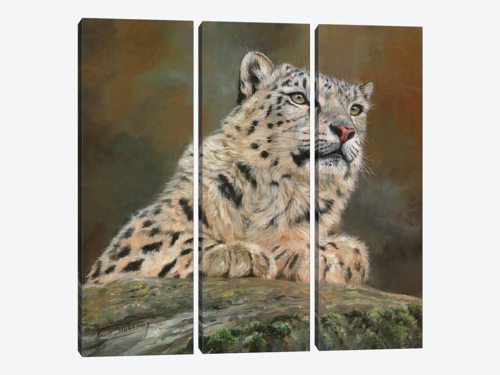 Snow Leopard On Rock by David Stribbling 3-piece Canvas Print
