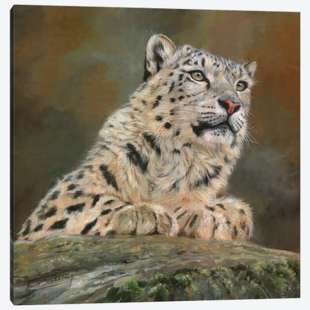 Snow Leopard On Rock 3-Piece Canvas #STG99} by David Stribbling Canvas Print