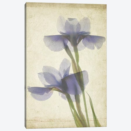 Parchment Flowers VIII Canvas Print #STL14} by Judy Stalus Canvas Print