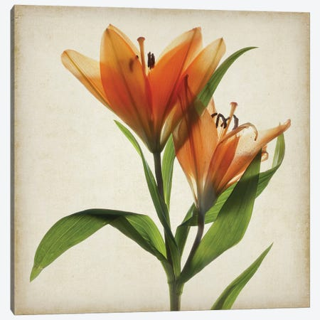 Parchment Flowers X Canvas Print #STL16} by Judy Stalus Art Print