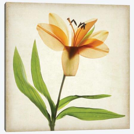 Parchment Flowers XI Canvas Print #STL17} by Judy Stalus Canvas Print