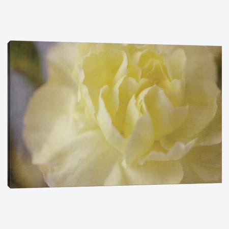 Rose Whisper I Canvas Print #STL21} by Judy Stalus Canvas Art Print
