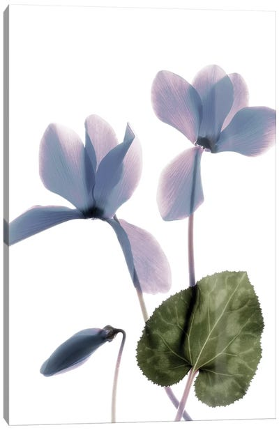 X-Ray Cyclamen Canvas Art Print