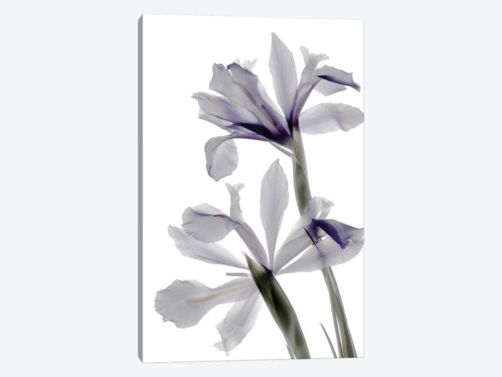 X-Ray Iris by Judy Stalus 1-piece Canvas Print