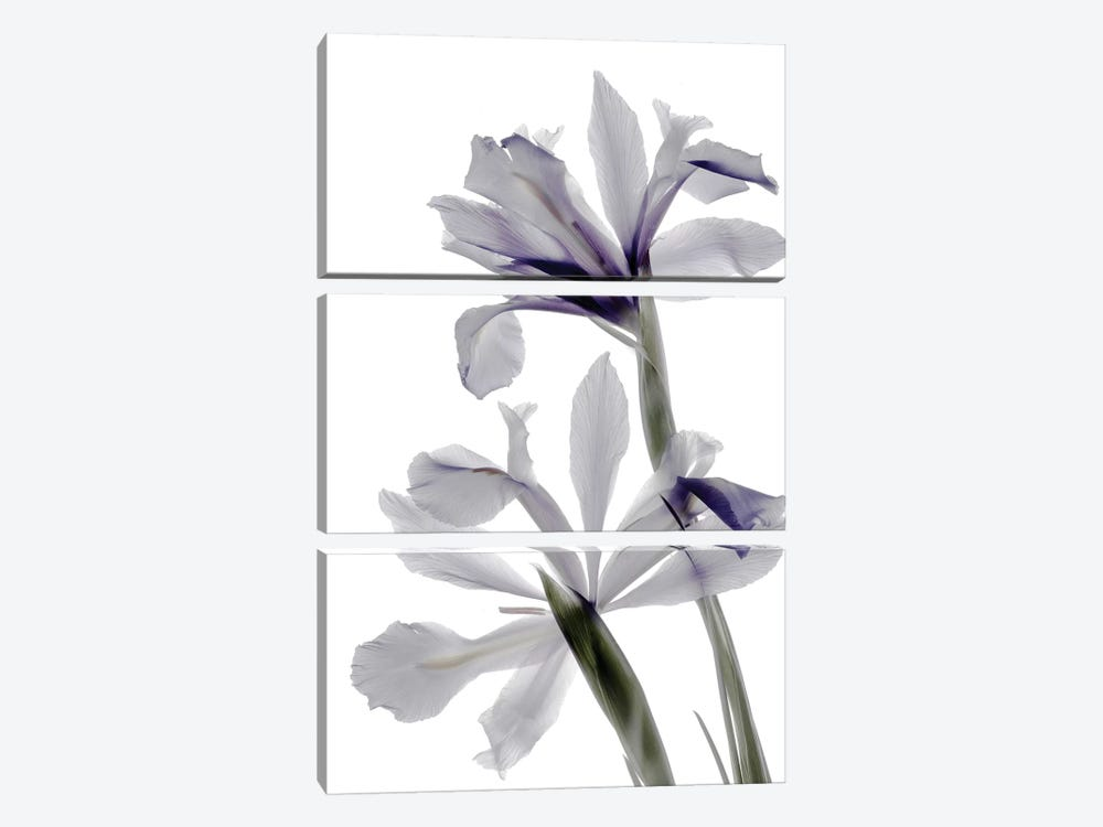 X-Ray Iris by Judy Stalus 3-piece Canvas Print