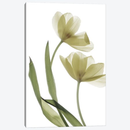 X-Ray Tulip I Canvas Print #STL26} by Judy Stalus Canvas Wall Art