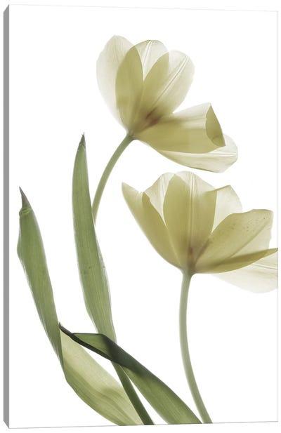 X-Ray Tulip I Canvas Art Print