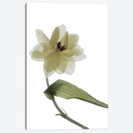 X-Ray Tulip II Canvas Print #STL27} by Judy Stalus Canvas Art