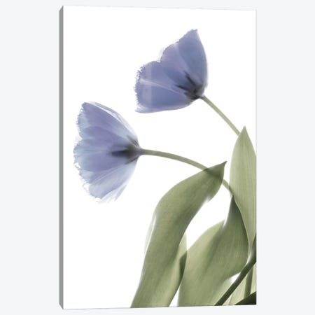X-Ray Tulip III Canvas Print #STL28} by Judy Stalus Canvas Print
