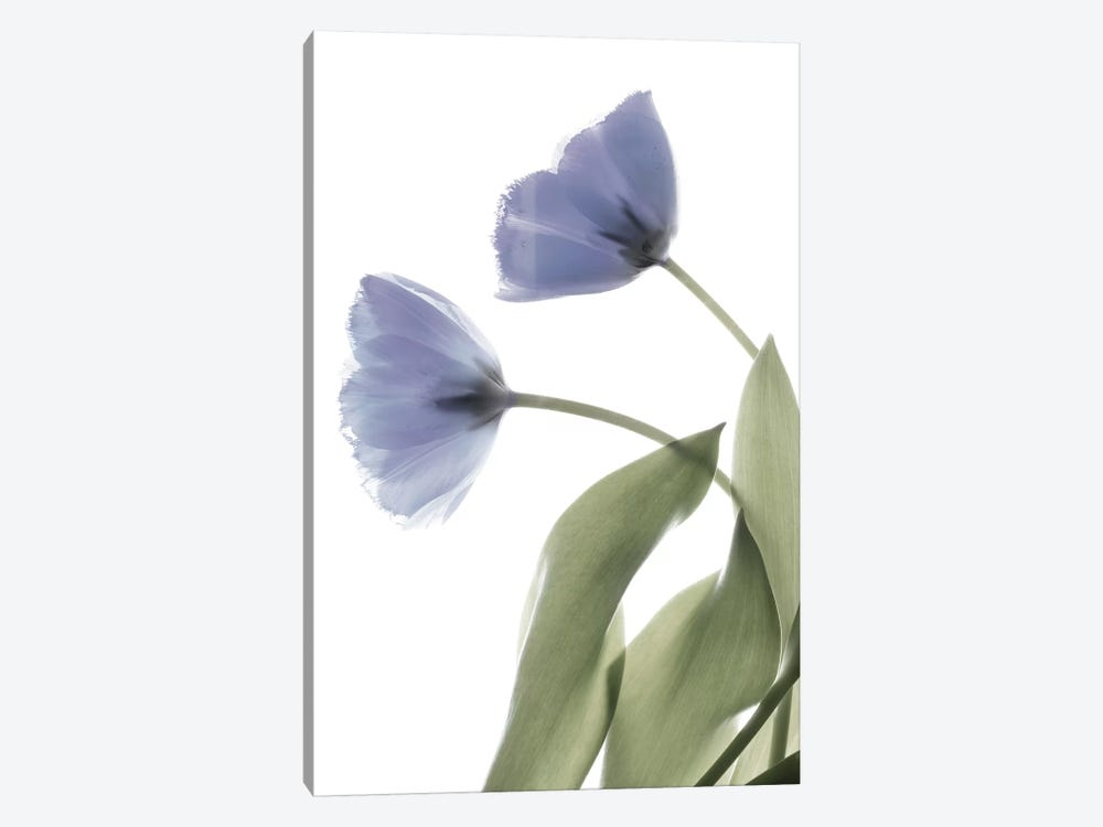 X-Ray Tulip III by Judy Stalus 1-piece Canvas Artwork