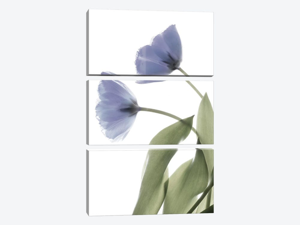 X-Ray Tulip III by Judy Stalus 3-piece Canvas Art