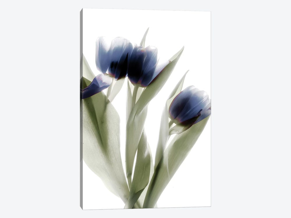 X-Ray Tulip IV by Judy Stalus 1-piece Canvas Art Print