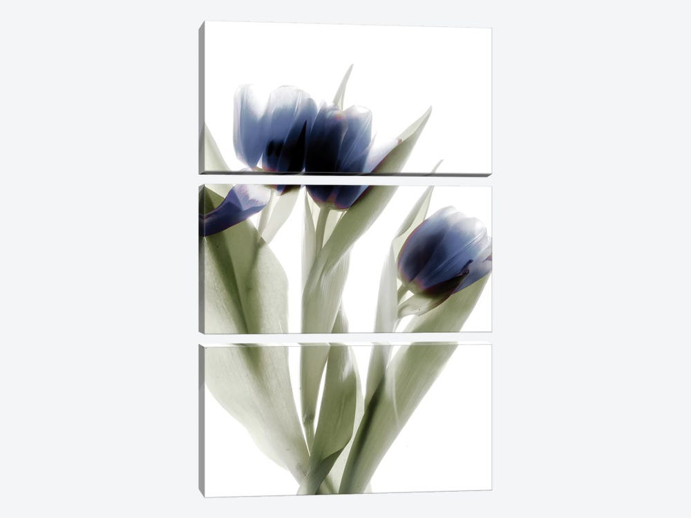 X-Ray Tulip IV by Judy Stalus 3-piece Canvas Art Print