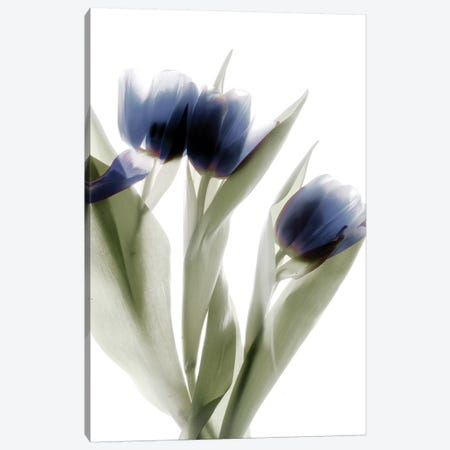 X-Ray Tulip IV 3-Piece Canvas #STL29} by Judy Stalus Canvas Print