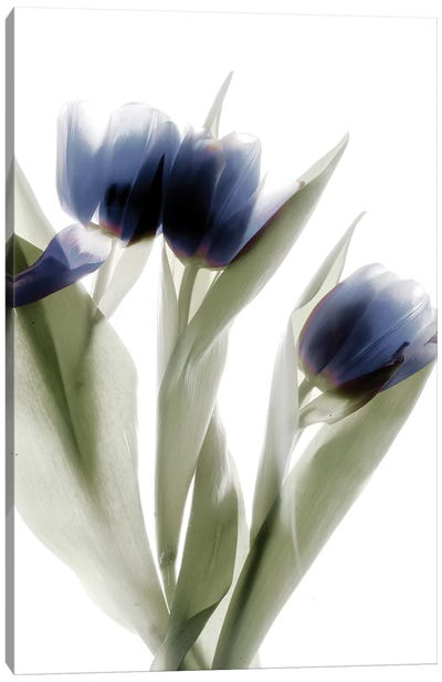 X-Ray Tulip IV Canvas Art Print