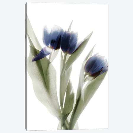 X-Ray Tulip IX Canvas Print #STL30} by Judy Stalus Canvas Wall Art