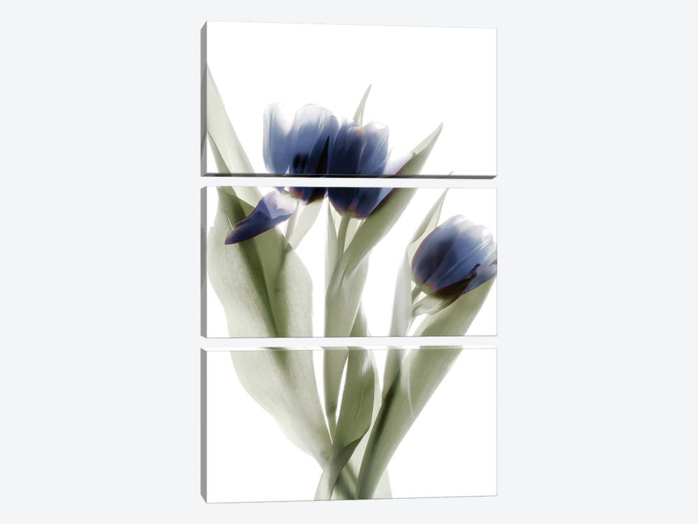 X-Ray Tulip IX by Judy Stalus 3-piece Canvas Print