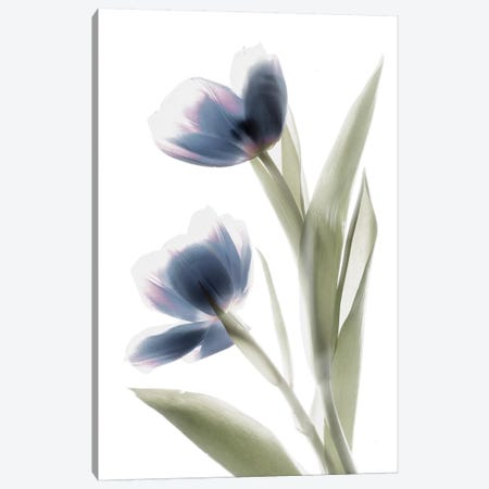 X-Ray Tulip V Canvas Print #STL31} by Judy Stalus Canvas Artwork