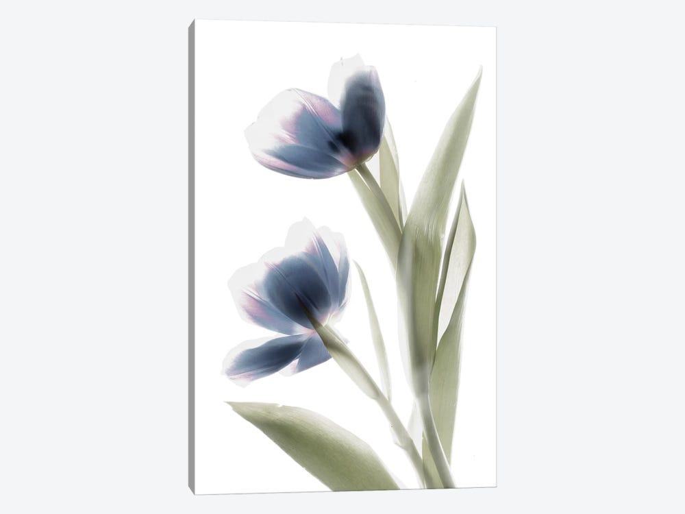 X-Ray Tulip V by Judy Stalus 1-piece Canvas Art