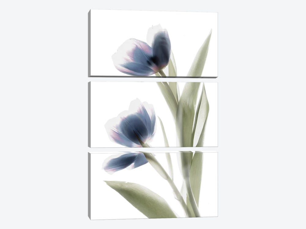 X-Ray Tulip V by Judy Stalus 3-piece Canvas Art