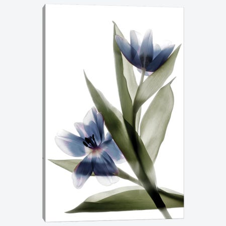 X-Ray Tulip VI Canvas Print #STL32} by Judy Stalus Canvas Artwork