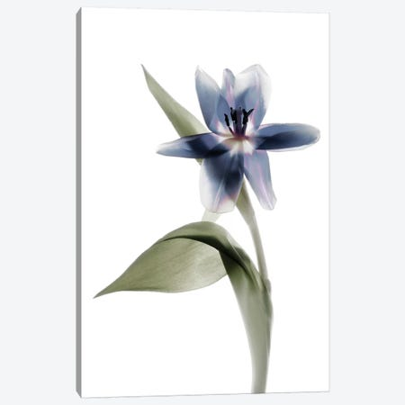 X-Ray Tulip VII Canvas Print #STL33} by Judy Stalus Canvas Wall Art