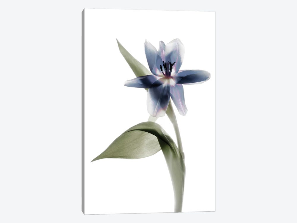 X-Ray Tulip VII by Judy Stalus 1-piece Canvas Wall Art