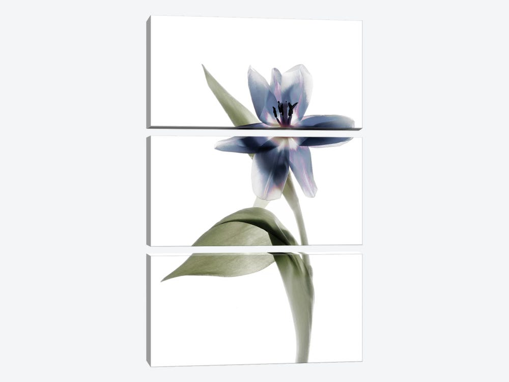 X-Ray Tulip VII by Judy Stalus 3-piece Canvas Wall Art