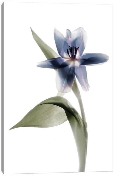 X-Ray Tulip VII Canvas Art Print