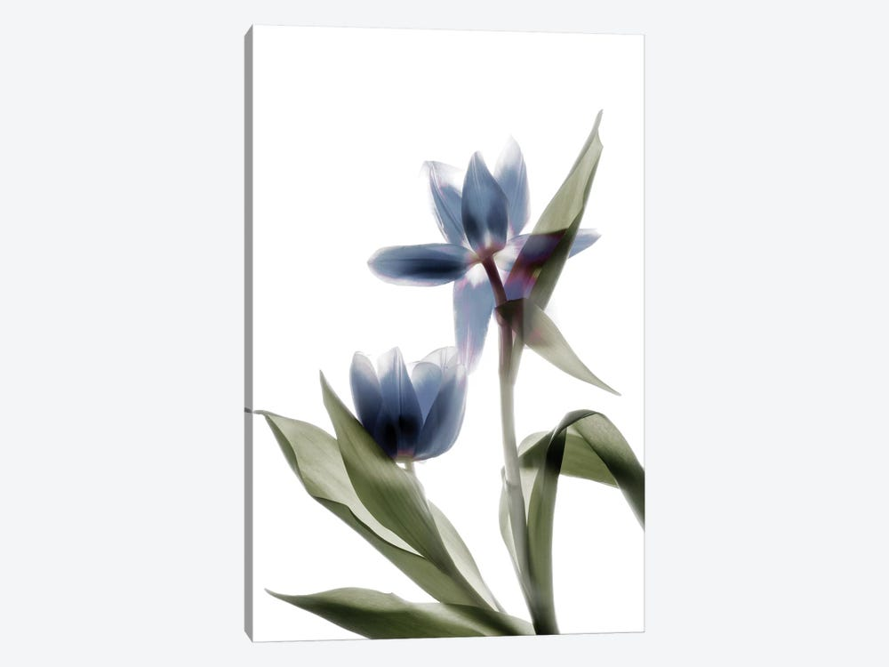 X-Ray Tulip VIII by Judy Stalus 1-piece Canvas Art Print