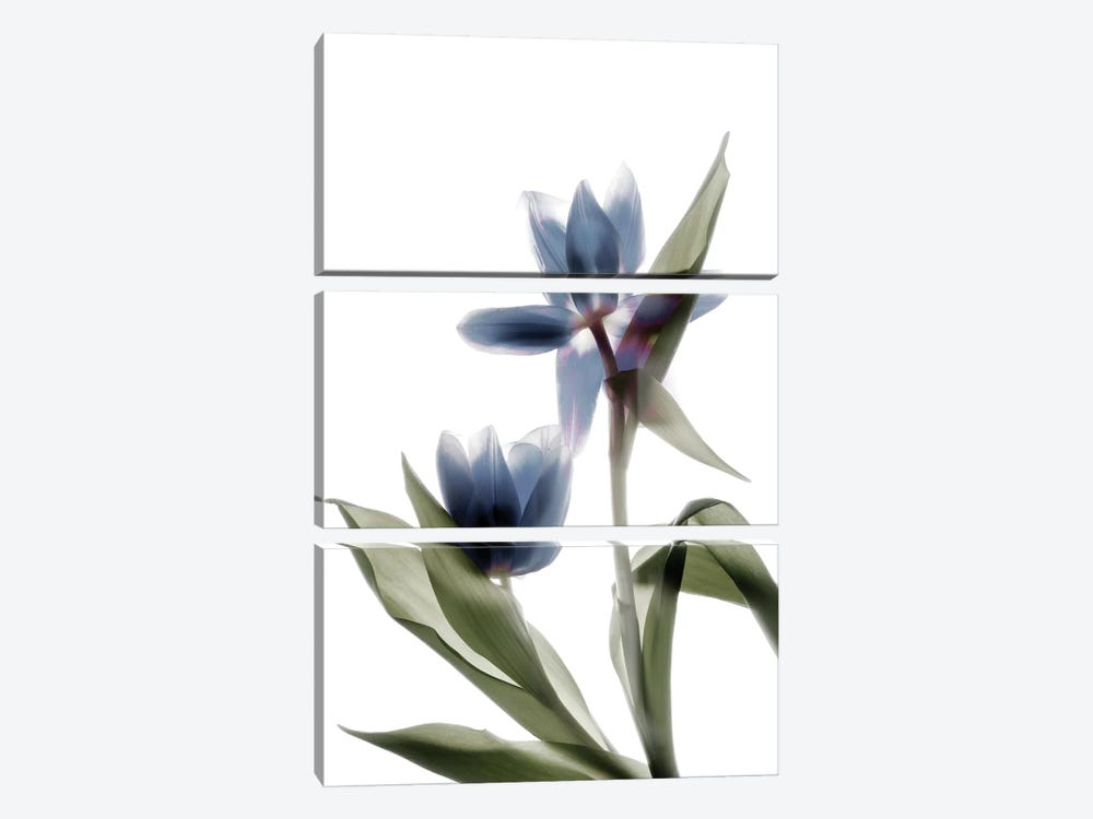 X-Ray Tulip VIII by Judy Stalus 3-piece Canvas Art Print