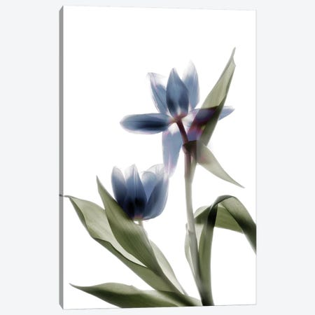 X-Ray Tulip VIII 3-Piece Canvas #STL34} by Judy Stalus Canvas Art Print