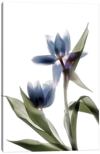 X-Ray Tulip VIII Canvas Art Print