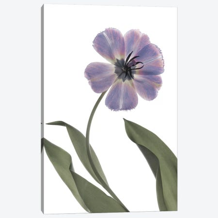 X-Ray Tulip X Canvas Print #STL35} by Judy Stalus Canvas Art Print