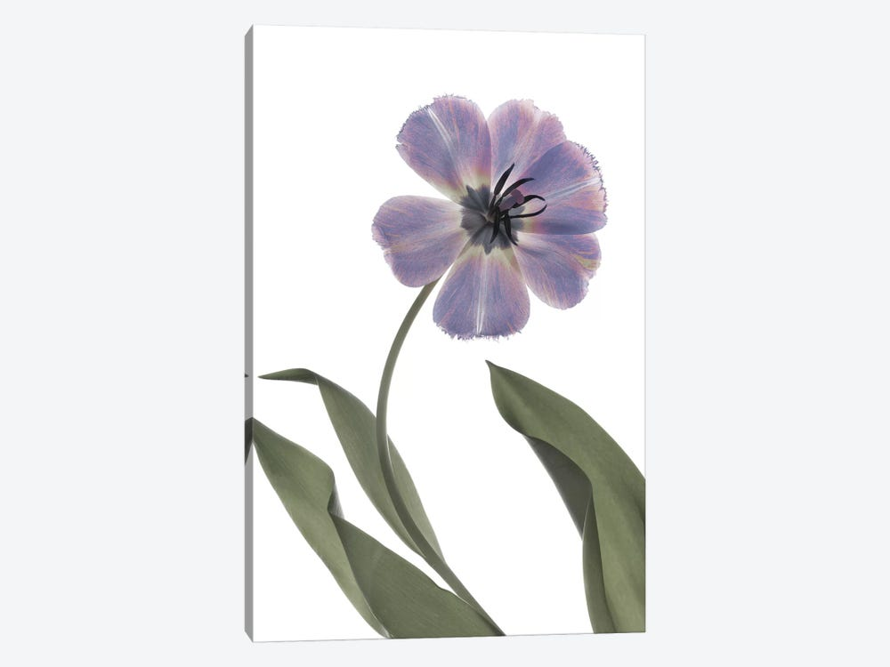 X-Ray Tulip X by Judy Stalus 1-piece Canvas Wall Art