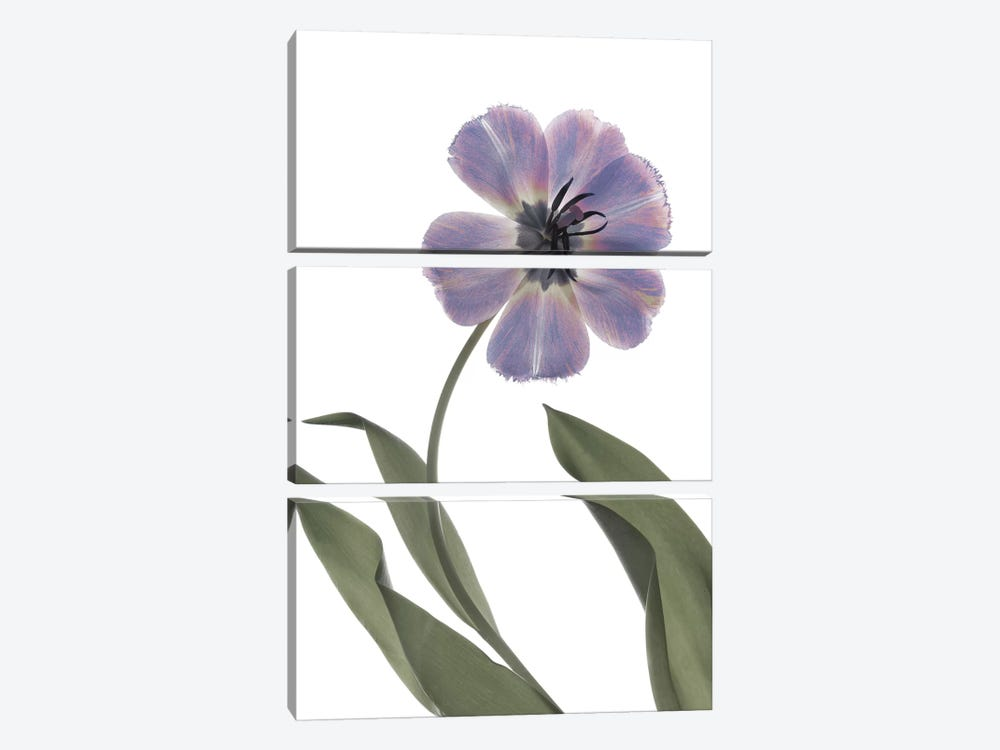X-Ray Tulip X by Judy Stalus 3-piece Canvas Art