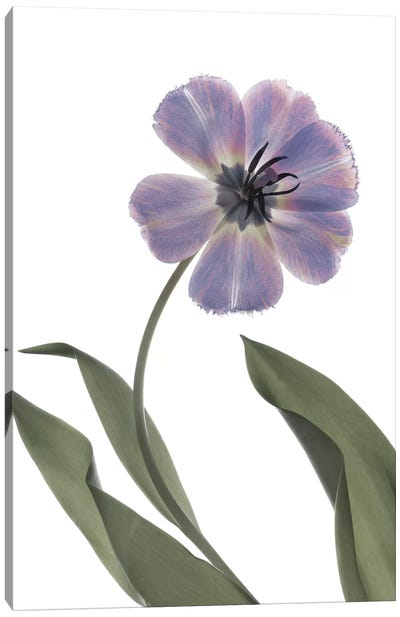 X-Ray Tulip X Canvas Art Print