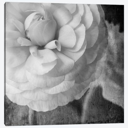 Dark Ranunculus II Canvas Print #STL37} by Judy Stalus Canvas Print