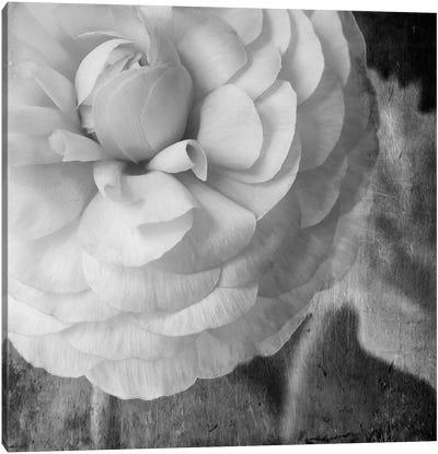 Dark Ranunculus II Canvas Art Print