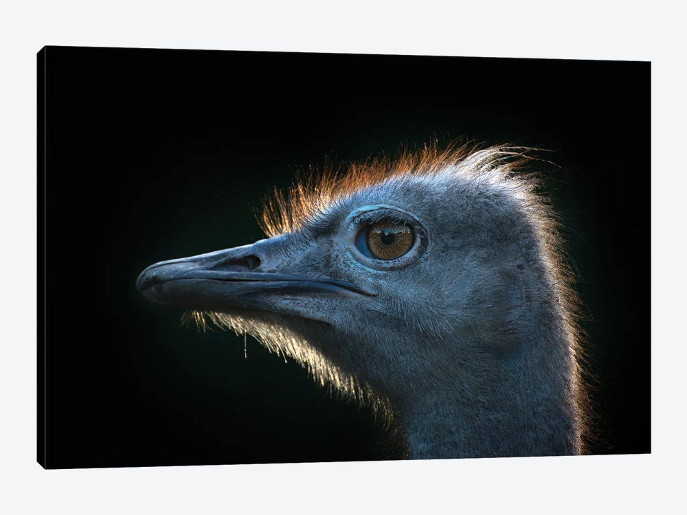 Ostrich by Andreas Stridsberg 1-piece Canvas Art