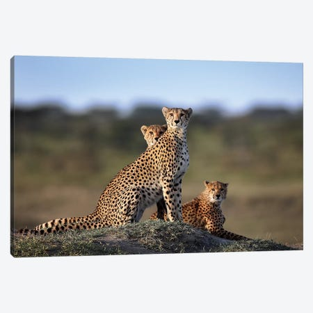 Cheetahs Family Canvas Print #SUA1} by Sultan Sultan Al Canvas Artwork